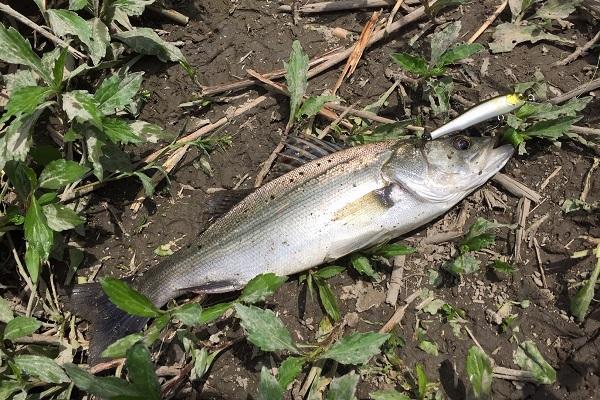 筑後川支流で釣れた有明シーバス