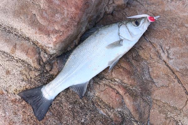 糸島で釣れたヒラスズキ