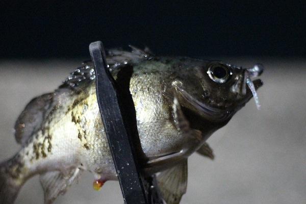 加部島で釣れたメバル