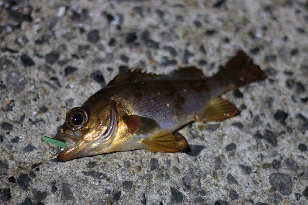 加部島で釣れた赤メバル