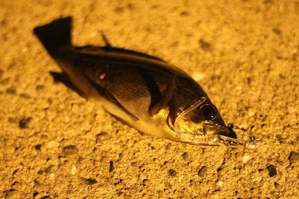 三池港で釣れたメバル