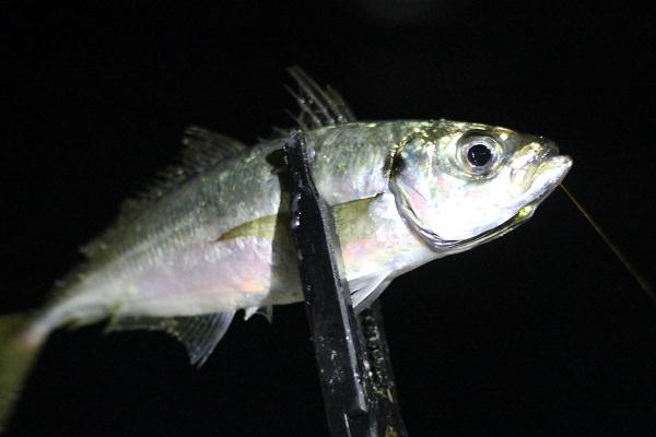 壱岐で釣れた大きなアジ